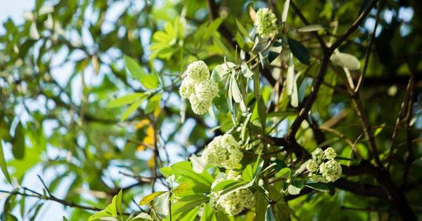 """Hoa sữa nở giữa mùa hè: Chuyên gia lý giải do cây """"lầm tưởng"""" mùa thu đến"""