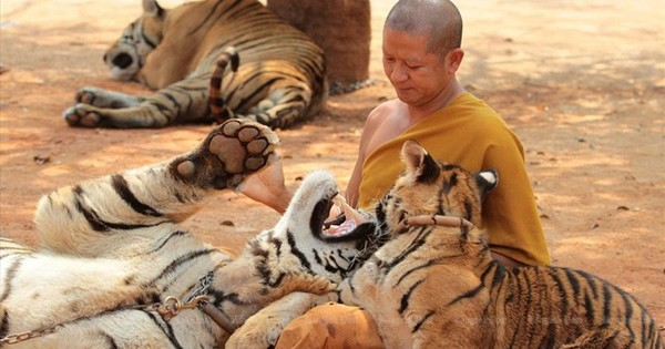 86 con hổ chết bất thường sau khi được giải cứu từ chùa nổi tiếng Thái Lan