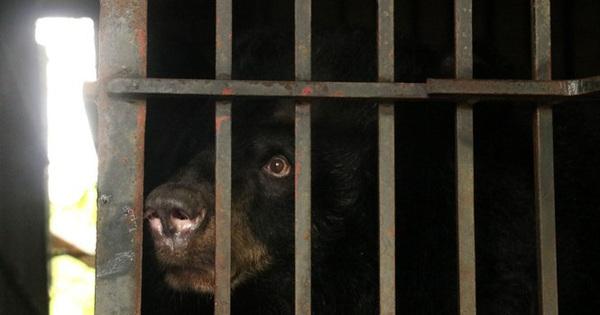 Hai gấu ngựa được cứu hộ ở Vĩnh Phúc