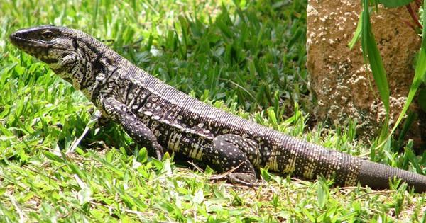 Loài thằn lằn tham ăn bị truy nã khắp nước Mỹ, người dân nếu phát hiện có thể thẳng tay tiêu diệt