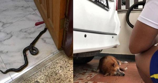 Hình ảnh chú chó hi sinh thân mình để cứu gia đình chủ khỏi rắn độc khiến ai cũng phải xót xa