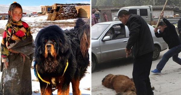 Câu chuyện buồn về 'cơn sốt' chó ngao Tây Tạng: Từ thần khuyển chục tỷ đồng đến bầy chó hoang hàng vạn con bị ruồng bỏ