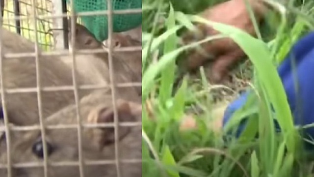 Mùa thu hoạch chuột đồng, cả tấn chuột ùn ùn đổ về phố lớn