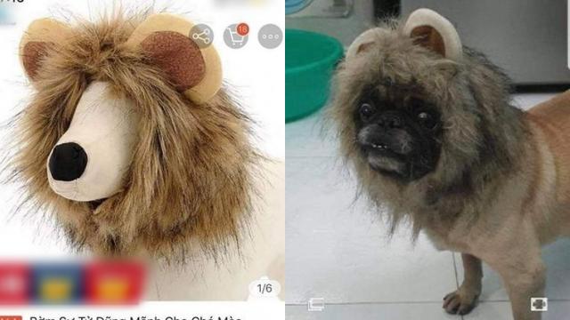 Đặt mua bờm sư tử dũng mãnh cho cún cưng, chủ nhân giật mình khi nhận hàng tận tay