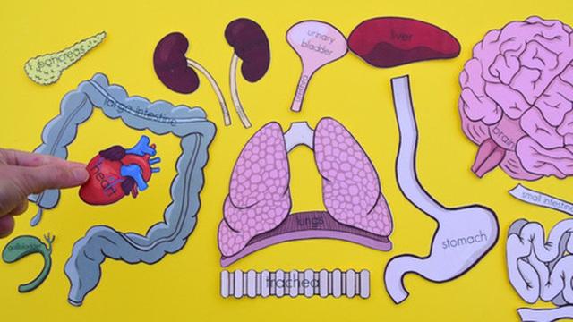Đố bạn biết: Cơ thể người có bao nhiêu cơ quan nội tạng tất cả?
