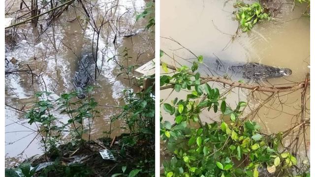 """Cá sấu dài khoảng 1,5m """"lạc"""" trên sông khiến người dân kinh ngạc: Ảnh và clip được chia sẻ liên tục"""