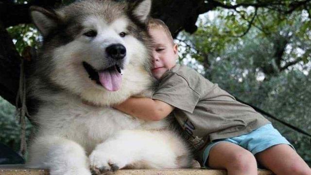 Bé 2 tuổi bị chó Alaska cắn rách khí quản