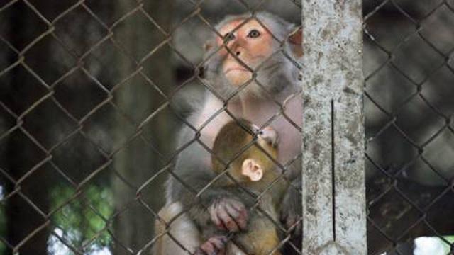 Nhốt 6 con khỉ vào 3 cái chuồng kèm theo thức ăn, cảnh tượng xuất hiện vài ngày sau khiến nhiều người suy ngẫm
