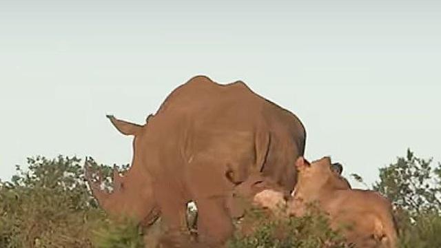 Clip: Tê giác mẹ liều mình bảo vệ con khỏi sự tấn công của sư tử
