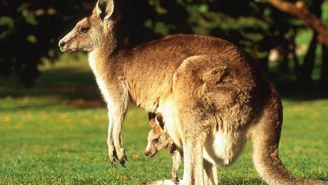 Thấy chuột túi sổng chuồng, sở thú chỉnh chuồng cao từ 10m lên hẳn 100m vẫn vô dụng, lý do phía sau thức tỉnh nhiều người