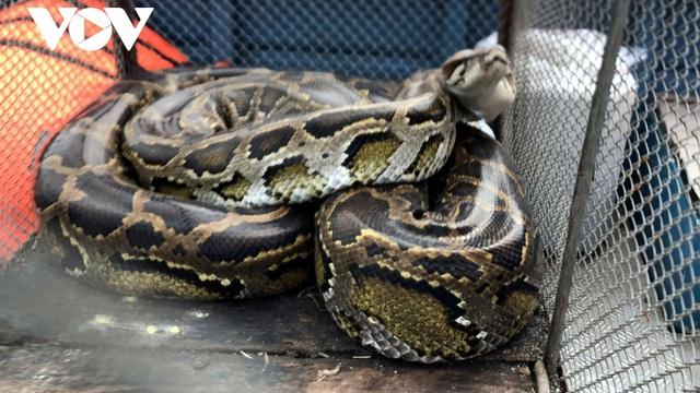 Người đàn ông bắt được con trăn gấm quý hiếm nặng 35 kg, dài 2,9 mét