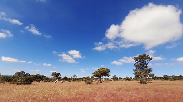 Đổ xô tới ngọn đồi bị loại cỏ 'nhuộm' màu hồng quyến rũ