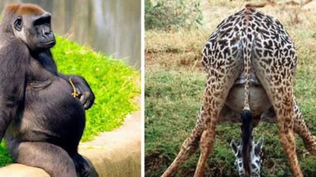 Những con vật mang bụng bầu nặng nề nhìn đến thương: Dù là con người hay loài vật, thiên chức làm mẹ luôn là điều thiêng liêng cao quý