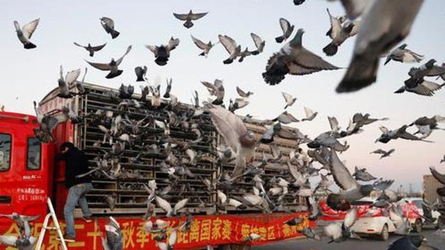 Ấn tượng môn thể thao đua bồ câu đầy kịch tính tại Trung Quốc