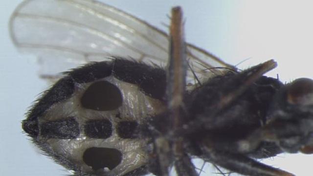 Đan Mạch phát hiện loài nấm ăn thịt biến ruồi thành 'xác sống'