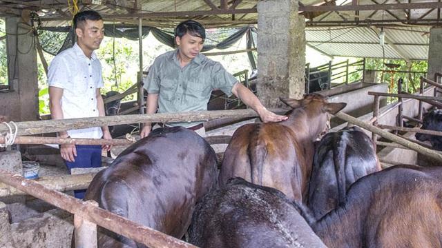 Làm giàu từ nuôi bò BBB