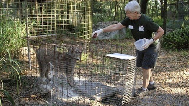Mỹ: Cho hổ ăn, bị cắn gần đứt lìa cánh tay
