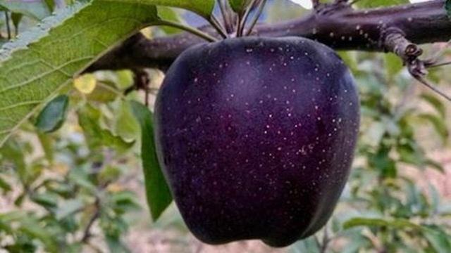 Táo 'kim cương đen' độc, lạ, ngon, bổ thuộc loại 'đắt xắt ra miếng'