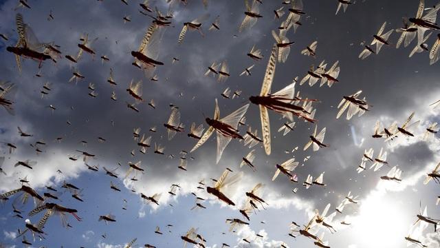 Châu chấu che kín bầu trời, bay ra như bão, khiến 23 nước có thể rơi vào nạn đói