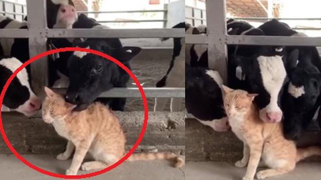 """Lạc vào chuồng gia súc, mèo vàng bỗng """"đắc sủng"""", được các cô bò sữa tranh nhau âu yếm, biểu cảm hưởng thụ của mèo ta mới buồn cười"""