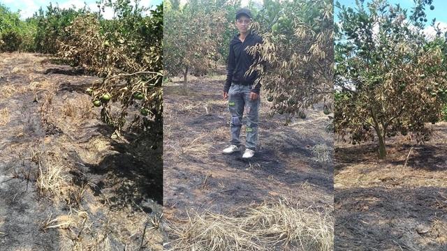Vườn cam quý đến ngày thu hoạch bị đốt cháy nham nhở, nghi bị kẻ xấu hãm hại