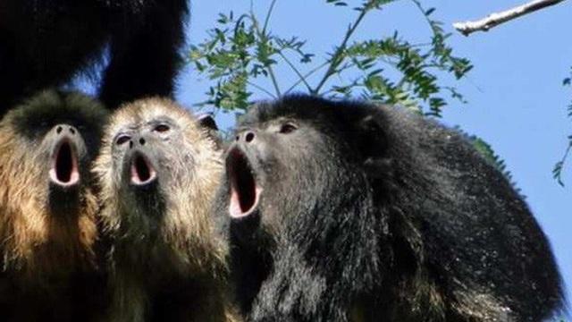 1001 thắc mắc: Loài khỉ nào to mồm nhất, tiếng rú như tiếng súng?