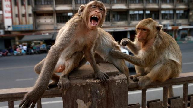 Khỉ nghiện sex khiến cảnh sát cũng phải bó tay, người dân sợ hãi trốn biệt trong nhà