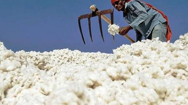 Vì sao Trung Quốc bỏ ra hơn 1 tỷ USD mua bông từ Mỹ chỉ để cất vào kho?