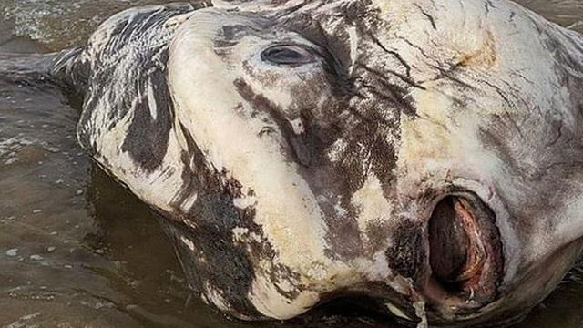 Phát hiện sinh vật khổng lồ trôi dạt vào bờ biển khiến du khách hết hồn vì nghĩ rằng nó đến từ hành tinh khác