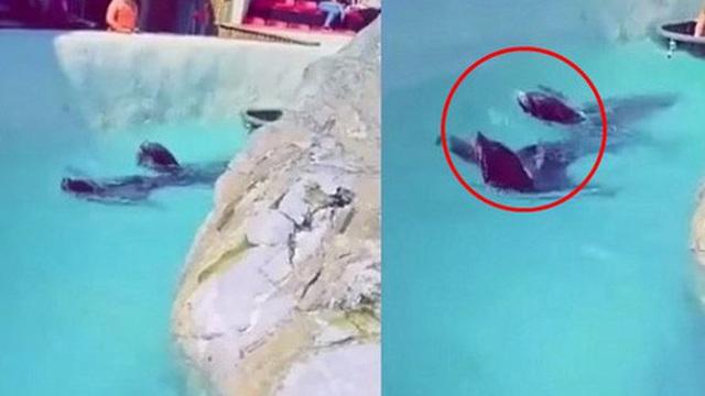 Đoạn clip quay 2 chú hải cẩu bơi quanh hồ nhưng món đồ trên cổ chúng lại gây chú ý và khiến hàng nghìn dân mạng 'nóng máu'