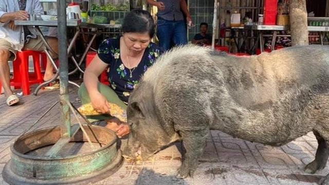"""Chú heo mọi như bước ra từ tranh Đông Hồ bỗng xuất hiện trên đường phố Biên Hòa, chuyên xin ăn theo kiểu """"lầy lội"""", đến khi no mới chịu về nhà"""