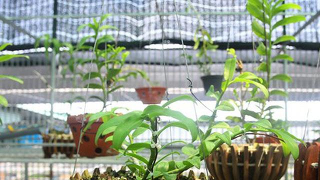 Ảnh: Vườn lan quý hiếm được chăm sóc, bảo vệ hơn cả kho báu