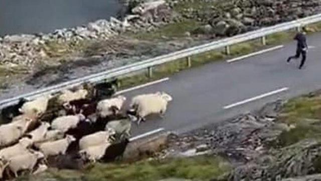 """Cà khịa nhầm """"đại ca"""" cừu, chàng trai bị 500 anh em cừu lùa lại chạy mất dép"""