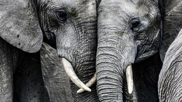 Đã có lời giải cho cái chết bí ẩn của 350 con voi Nam Phi ở Botswana