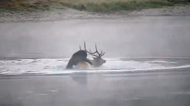 Video: Nai sừng tấm bị gấu xám truy sát, dìm chết ở giữa sông
