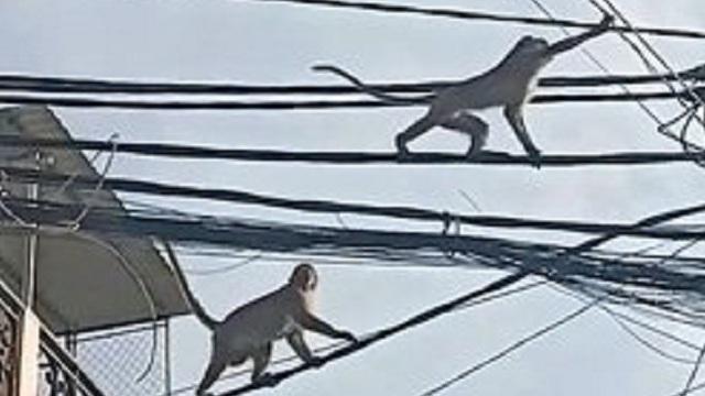 Người dân ở Sài Gòn lo sợ khi đàn khỉ liên tục vào nhà trộm trái cây, phá đồ đạc