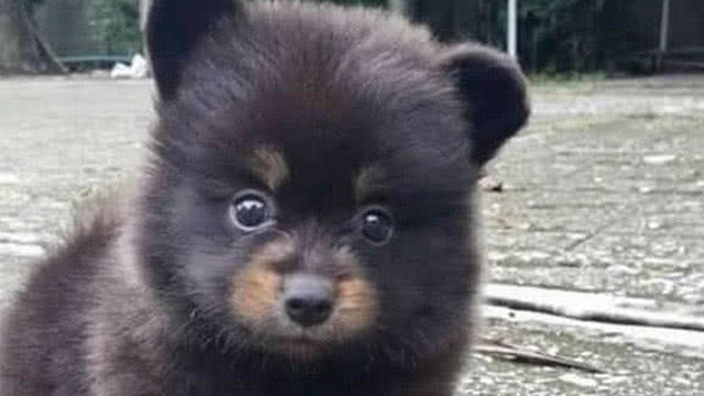 Ông lão nhặt được chú chó nhỏ bên đường nhưng lớn lên nó không hề sủa: Hậu quả quá nghiêm trọng!