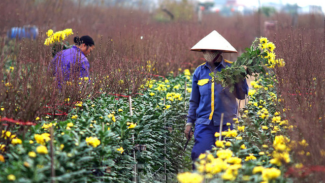 Cúc vàng Nhật Tân 7.000 đồng/bông, đào Nhật Tân hút khách dịp cận Tết