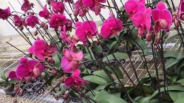 Hoa tươi nhập từ Trung Quốc 'đội lốt' hoa Đà Lạt