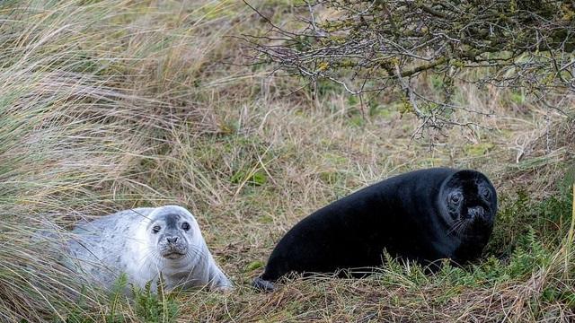 Hải cẩu đen quý hiếm bất ngờ lộ diện ở khu bảo tồn Anh