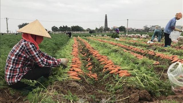 Bội thu tại vùng sản xuất chuyên canh cà rốt
