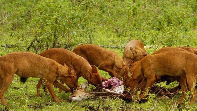 1001 thắc mắc: Loài chó nào có chiến thuật săn mồi đỉnh cao?
