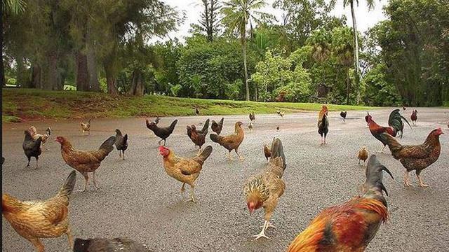 'Thiên đường du lịch' Hawaii biến thành nhà của gà hoang