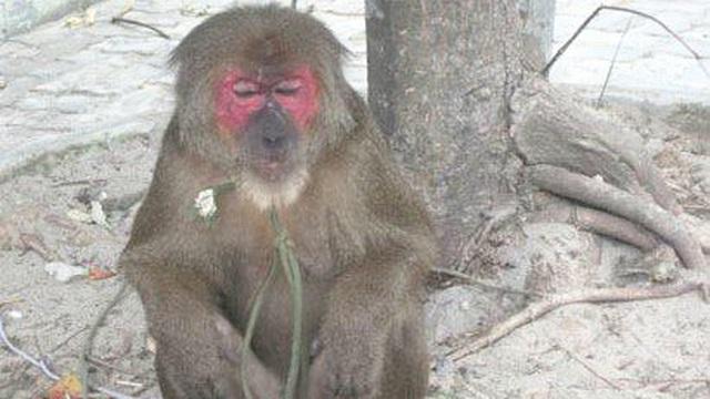 Khỉ mặt đỏ 'quậy' khu dân cư, tấn công rượt đuổi người