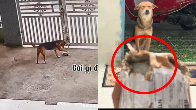 """Thấy chiếc hộp ở sân, chú chó cắp vào nhà nhưng ngờ đâu đằng sau đó là một """"thảm họa"""""""