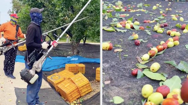 Cảnh thu hoạch quả lạ ở Hàn Quốc 'đã con mắt' khi xem, tưởng cherry hoá ra không phải?
