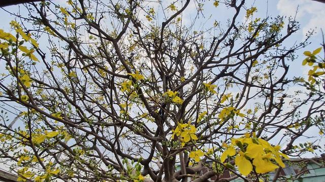 Ngắm cây mai vàng 'khủng' giá tiền tỷ ở TPHCM