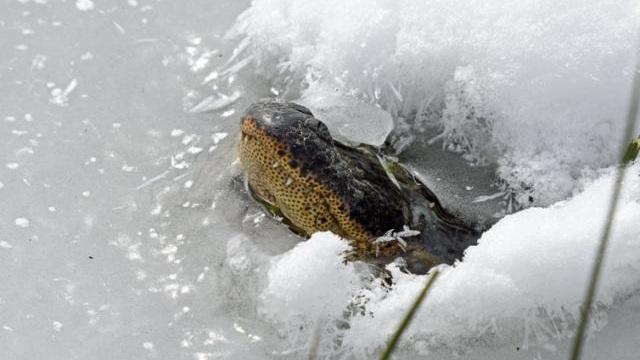 Bão tuyết khắc nghiệt ở Mỹ: Cá sấu có hành động lạ khiến nhiều người lo lắng