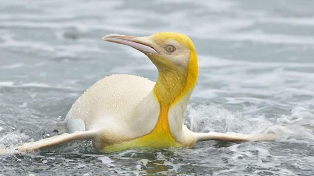 Phát hiện chim cánh cụt màu vàng kỳ lạ, 'hiếm có khó tìm'