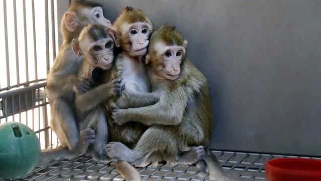 Dự trữ khỉ chiến lược: Mỹ đang chậm chân hơn TQ trong cuộc cạnh tranh khốc liệt giữa đại dịch Covid-19